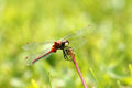 Red dragonfly a on grass the white faced meadowhawk sympetrum obtrusum Stock Images