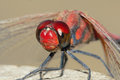 Red dragonfly the head close up of scientific name crocothemis servilia Royalty Free Stock Photography