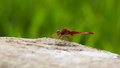 Red dragonfly a rest on the rock Stock Photography