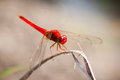 Red dragonfly a at rest sympetrum vulgatum Royalty Free Stock Photo