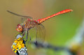 Red dragonfly at rest sympetrum vulgatum on a twig with moss Stock Photography