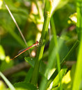 A red dragonfly resting on branch Royalty Free Stock Photography