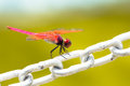 A red dragonfly resting on chain Stock Photography