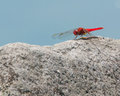 Red dragonfly on rock beautiful vivid perched a Stock Photos