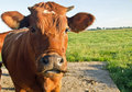 Red dutch cow with yellow ear tacks bright looking interested into the lens in a sunny paddock fresh spring grass under a blue sky Royalty Free Stock Photography