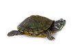 Red ear tortoise Royalty Free Stock Image