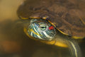 Red eared slider closeup of in the wild Stock Images