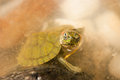 Red eared slider turtle also known as florida galapagos in captivity Stock Photography