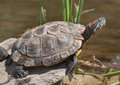 Red-eared Slider Royalty Free Stock Photo