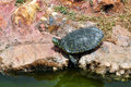 Red eared slider turtle by the edge of the water Stock Photos