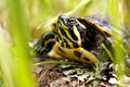 Red eared slider turtle grass Stock Images