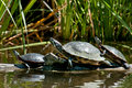 Red-eared Slider Turtle Royalty Free Stock Photo