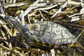 Red-eared Sliders (Trachemys scripta elegans) Royalty Free Stock Images