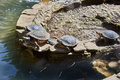 Red eared turtles bask in sun the Royalty Free Stock Photography