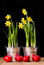 Red easter eggs and yellow daffodils in tin pail Stock Image