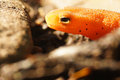 Red eft Royalty Free Stock Photo