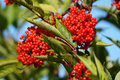 Red elder or elderberry (sambucus). Royalty Free Stock Photo