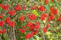 Red elderberry sambucus racemosa the branches Royalty Free Stock Photo