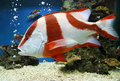 Red emperor lutjanus sebae in aquarium Stock Photo