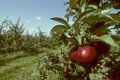 Red Empire apples on the tree in an orchard Royalty Free Stock Photography