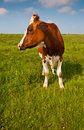 Red en white spotted cow in a Dutch landscape Royalty Free Stock Photo