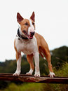 Red english bull terrier thoroughbred dog canine friend dog Stock Image
