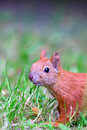Red Eurasian squirrel Stock Image