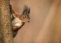 Red eurasian squirrel clinging to tree trunk checks me out from the safety of the Stock Image