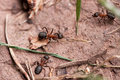 Red European Forest Ants (Formica rufa) Stock Images