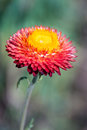Red everlasting flower in a garden Royalty Free Stock Images