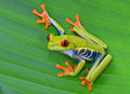Red eye tree frog on green leaf, cahuita, costa rica Royalty Free Stock Photo