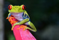 Red eye tree frog perched purple flower, cahuita, costa rica Royalty Free Stock Photo
