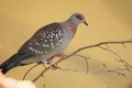 Red-eyed dove Royalty Free Stock Photo