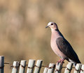 Red-eyed Dove on fence Royalty Free Stock Photo