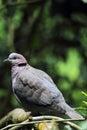 Red-eyed Dove (Streptopelia semitorquata) Royalty Free Stock Photo