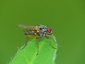 Red eyed fly on a leaf closeup of Royalty Free Stock Image