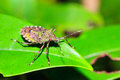 Red eyed green shield bug Royalty Free Stock Photo