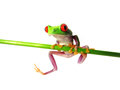 Red-eyed tree frog (133) Agalychnis callidryas Stock Photos
