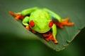 Red-eyed Tree Frog, Agalychnis callidryas, animal with big red eyes, in the nature habitat,  Panama Royalty Free Stock Photo