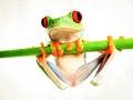 Red-eyed tree frog (160), agalychnis callidryas Royalty Free Stock Photo