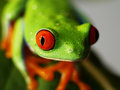 A red eyed tree frog agalychnis callidryas on a green banana leaf Stock Photo