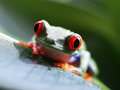 Red eyed tree frog agalychnis callidryas a on a green banana leaf Royalty Free Stock Image