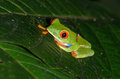 Red-eyed Tree Frog Royalty Free Stock Photo