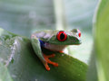 Red eyed tree frog agalychnis callidryas ra ed on a green banana leaf Royalty Free Stock Photo