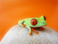 Red eyed tree frog agalychnis callidryas sitting stone orange background Royalty Free Stock Photos