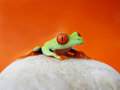 Red eyed tree frog agalychnis callidryas is sitting on a stone with red orange background Stock Images