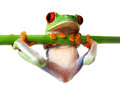 Red eyed tree frog agalychnis callidryas a with wihite background Stock Photography