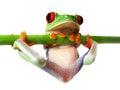 Red-eyed tree frog (86), Agalychnis callidryas Royalty Free Stock Photo