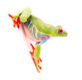 Red eyed tree frog Agalychnis callydrias Royalty Free Stock Photo
