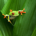 Red eyed tree frog big eye curiosity Royalty Free Stock Photo